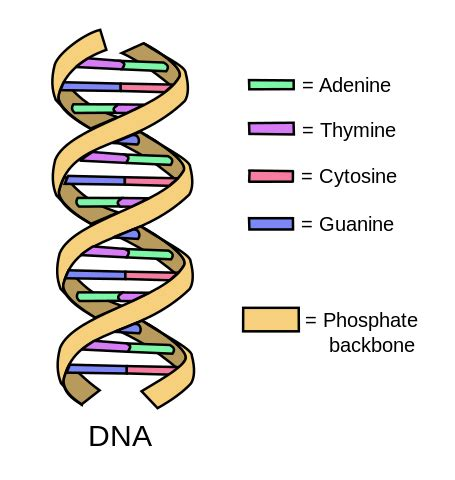 File:DNA simple2